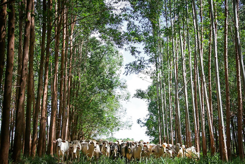 Cattle raised under the ILPF (Crop-Livestock-Forest Integration) system (Photo: CNA System/Tony Oliveira)